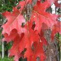 Quercus rubra – Američki crveni hrast