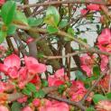 Chaenomeles japonica - japanska dunja