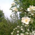Jasminum nudiflorum – jasmin